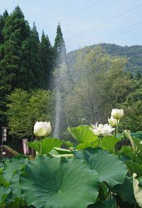 福井県花はす公園(投稿者:びわ湖大ナマズ)