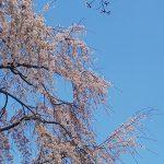 京都市 平野神社(投稿者:こうちん)