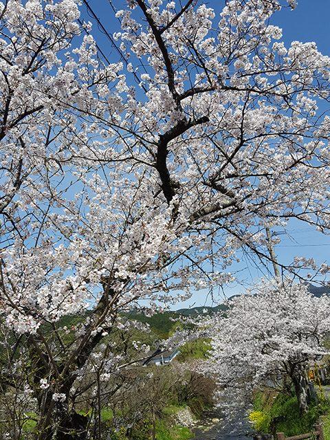 福岡県・秋月(投稿者:モモ)