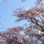 柏市、今井の桜(投稿者:石井龍)