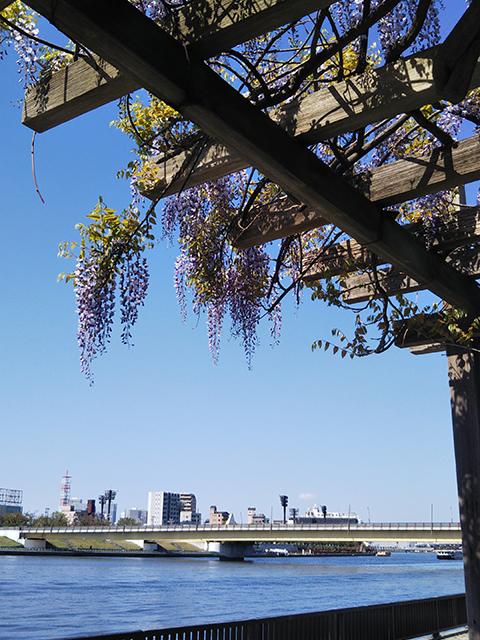 隅田川桜橋(投稿者:アップルパイ)